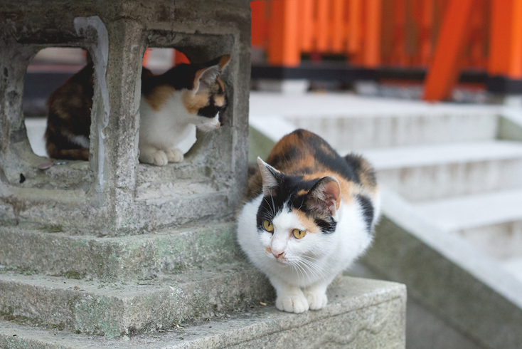 Cats at Fushimi Inari-taisha, Kyoto, Japan - Photography: Yolene Dabreteau